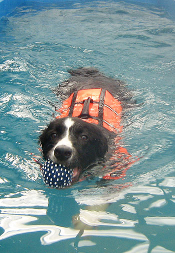 This border collie loves to swim