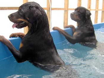 Two rotweillers swimming at Dog Swim Spa