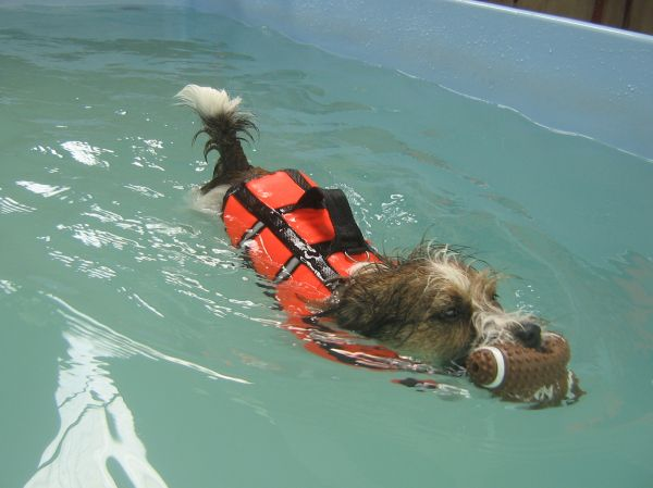Scoobie the Jack Russell swimming at dog swim spa