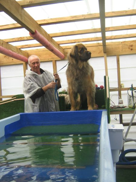 Shedor Leonberger Swimming