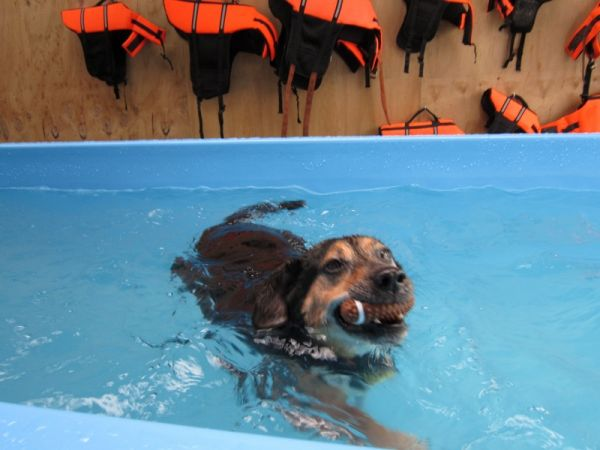 Jake the 12 year old swims for health at Dog Swim Spa ©June Blackwood