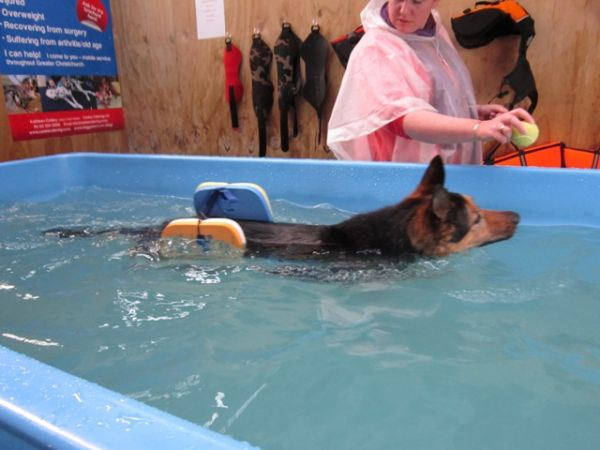 Hunter swimming after surgery with her new buoyancy aids at dog swim spa ©June Blackwood