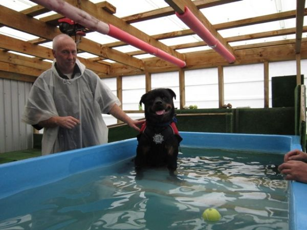 Maverick the rottweiler checking out swimming at dog swim spa ©June Blackwood